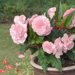 Grandiflora rosa