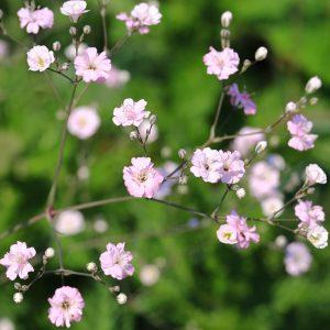 Gypsophila Rosea