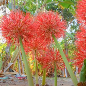 Scadoxus red