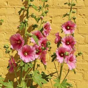 Alcea rose