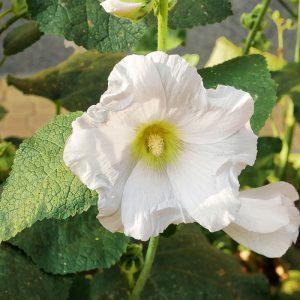Alcea white