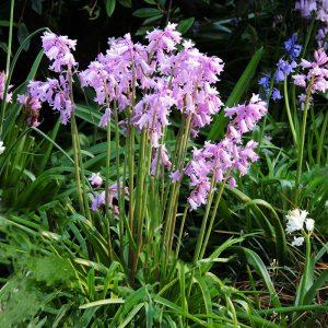 Hyacinthoides roze